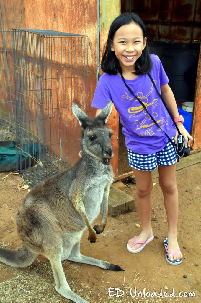 farm kangaroo